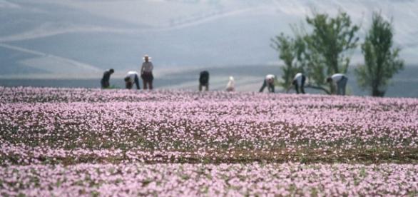 Kozani, na Grécia, região produtora do açafrão 'Krokos'
