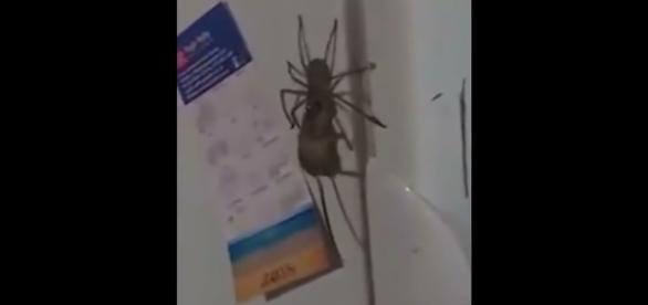 Aranha da espécie Huntsman foi flagrada carregando um rato (Crédito: YouTube/MaskAgent)