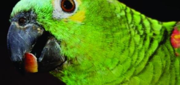 Papagaio entrega traição de homem