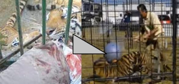 Tigre ataca treinadora em dia de fúria