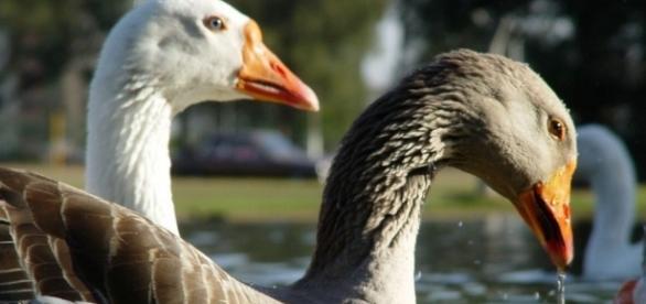 Imagem de criação de patos no Brasil