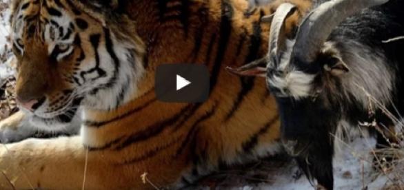 Tigre não aceita comer o bode, que vira seu melhor amigo