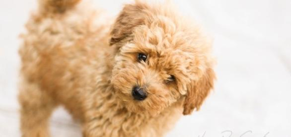Poodle. Veja algumas raças de cães mais populares
