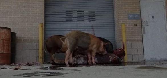 Os porcos comendo zumbis, no segundo episódio da sétima temporada