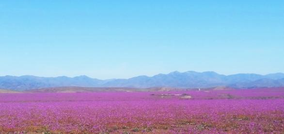 Atacama turns into pink fields.(Own work - author)