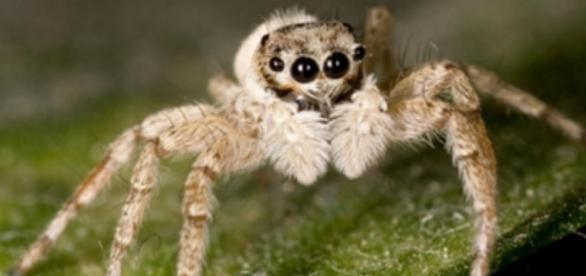 Arañas saltarinas sin tímpanos que son capaces de oír a su manera