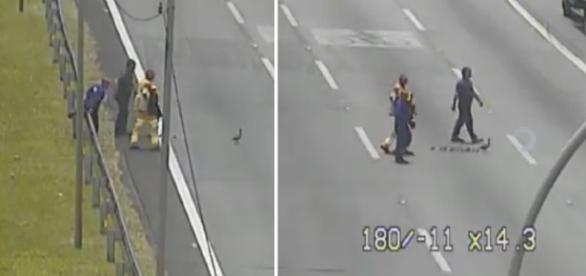 """Assim que começa a atravessar a Rodovia, família de patinhos é """"escoltada"""""""