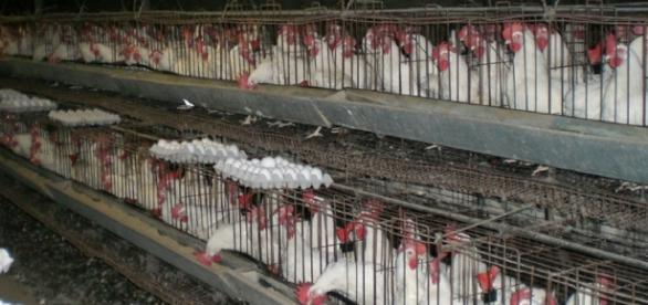 Gripa aviară se extinde rapid în Europa