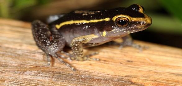 La Lithodytes lineatus, una rana con protector incorporado
