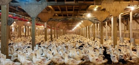Peste 190 de mii de rațe au fost sacrificate în Olanda, din cauza gripei aviare