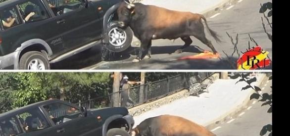 Imagem de touro atacando veículo com família dentro.