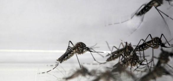 Mayaro é mais um vírus transmitido pelo Aedes aegypti