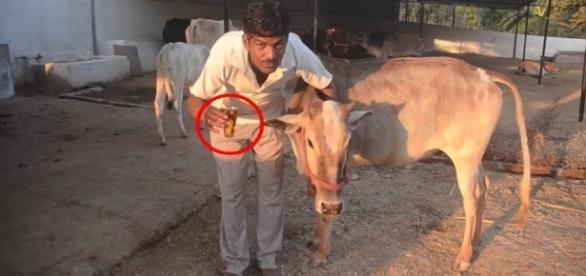 Hemant Paliwal já faz uso de urina de vaca há quatro anos (Crédito: YouTube/CatersClips)