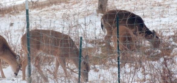 Deer in author's yard last week,credit John A. McCormick