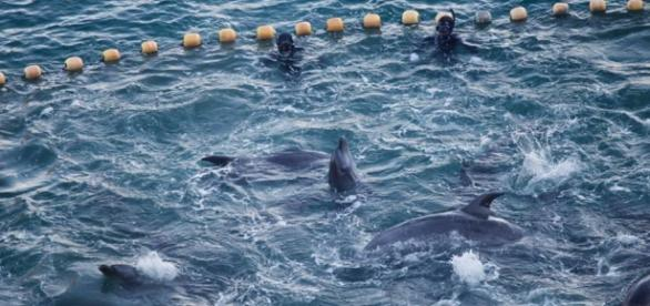 Dolphins are visibly distressed while held captive in The Cove. Credit Sea Shepherd