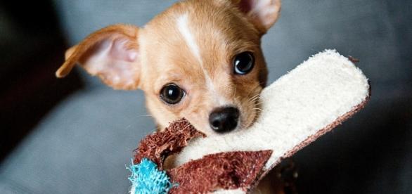 Cãozinho é alvo de disputa judicial de casal.