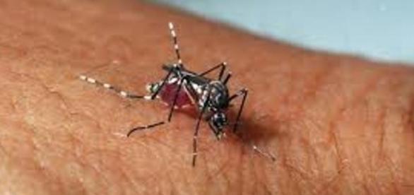 Mosquito transmissor do Zika Vírus