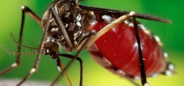 O mosquito Aedes Aegipty,. transmisssor da dengue