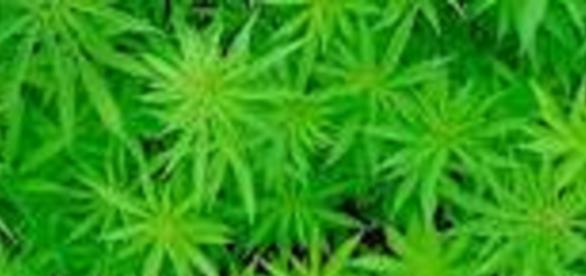 Marihuana más fuerte que hace 20 años