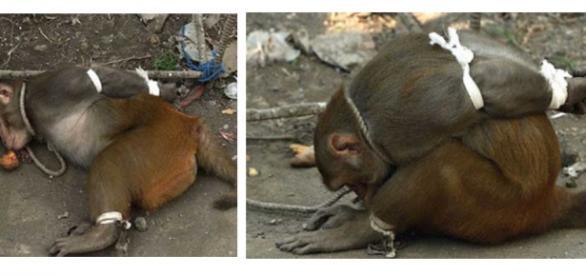 Macaco foi preso pelas mão e pés e enjaulado