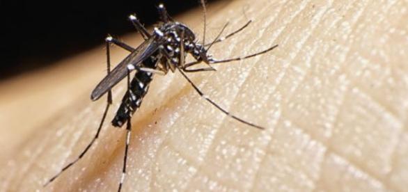 Mosquito transmisor del virus.