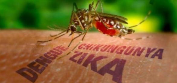 Mosquito Aedes Aegypty transmisor del Zika