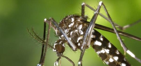 Mosquito Aedes aegypti, causador da dengue