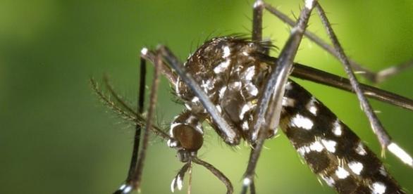 Mosquito da dengue Aedes Aegypti