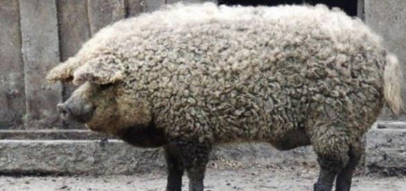 Așa arată porcul din rasa Mangalița
