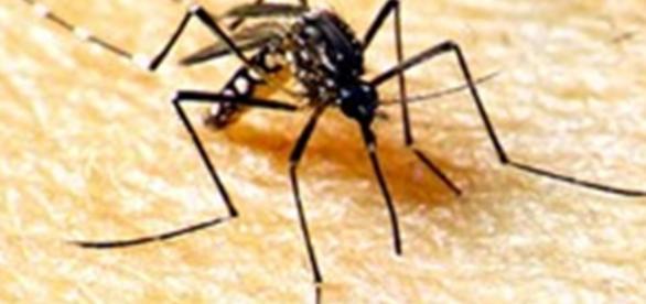 Aedes Aegypt. O mosquito transmissor do vírus.
