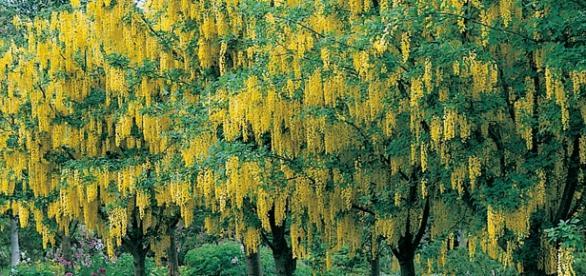Alberi di betulla in fioritura