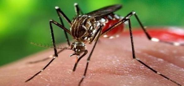 Fotografía de mosquito portador del virus zika