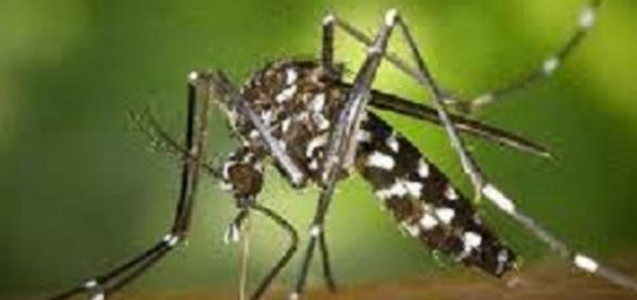 Komar tygrysi rozprzestrzeniający wirusa.