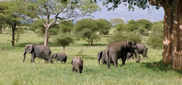 Elephant family. Image (Pixabay)