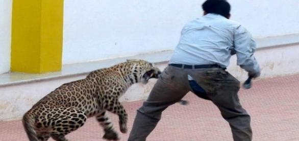 Leopardo selvagem ataca seis pessoas naÍndia.