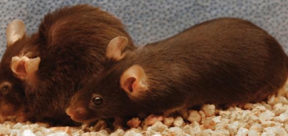 Ratón sin tratar (dcha) y ratón tratado (izda)