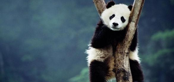 O panda vive na China e está ameaçado de extinção