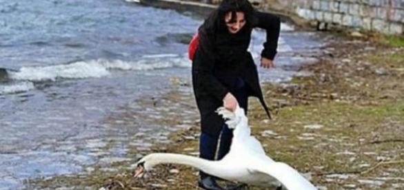 Coje un cisne lo saca del agua