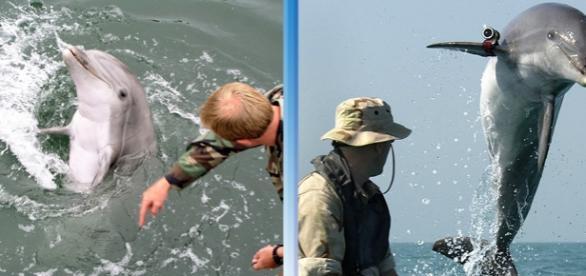 Rusia reintroduce delfinii în programul militar