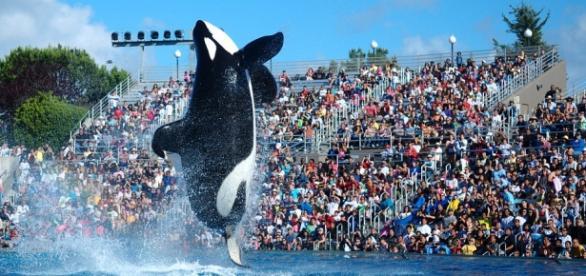 "Shamu, a famous orca ""performer"" at SeaWorld."