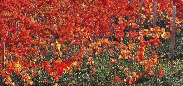 Il Sagrantino in autunno si fa rosso sangue