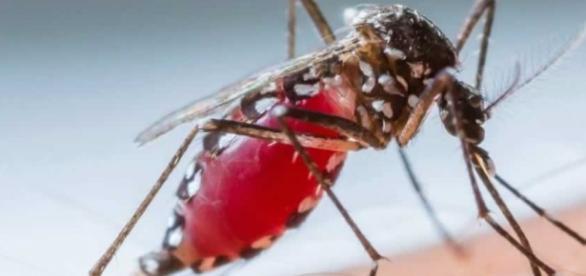 Aedes aegypti é o mosquito transmissor do Zika vírus