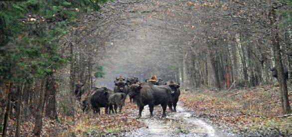 Manada de bisontes en el Parque Natural de Bialowieza