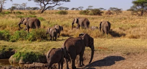 Serengeti elephant herd. Wikimedia commons