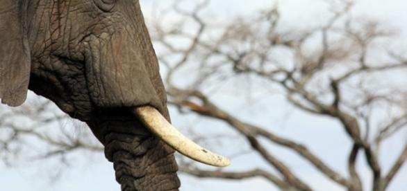 Elephant ivory. Image courtesy Pixabay