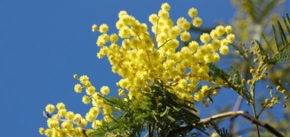 Kwiat drzewa akacji srebrzystej