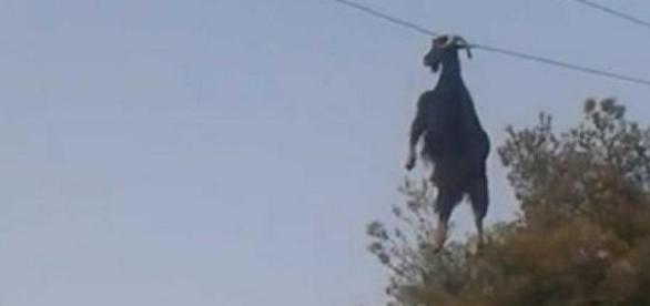 Animal ficou suspenso pelos chifres
