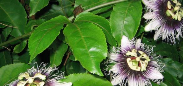 Așa arată planta passiflora, un remediu excelent