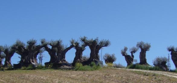 Viejos olivos semejando antiguos moais