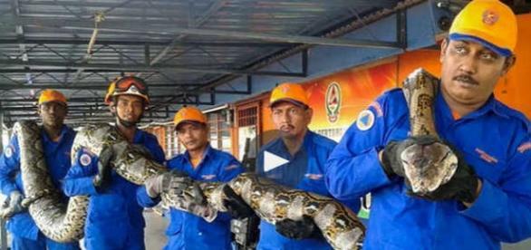 Misterul morții pitonului reticulat de 7,5 metri capturat în Malaezia